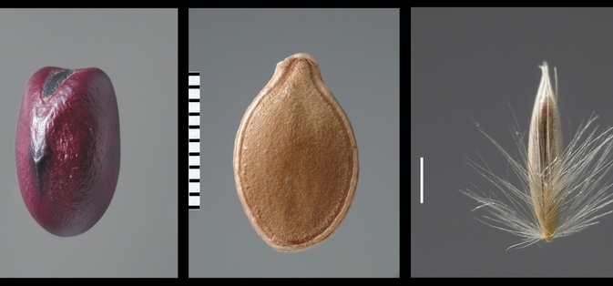 Fruits and seeds from the reference collection (Carpoteca): <i>Vicia faba</i>  (fava); <i>Cucurbita ficifolia</i>  (gila);<i>Calamagrostis arundinaceae</i>   (gramínea). Foto de J.P. Ruas.