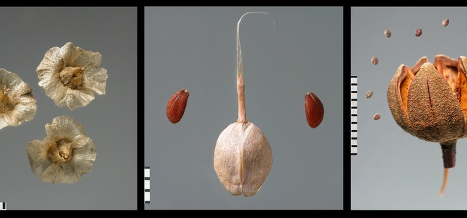 Fruits and seeds from the reference collection (Carpoteca): <i>Salsola vermiculata </i> (soda); <i>Lepidium sativum</i>  (agrião-mouro); <i>Cistus ladanifer</i>  (esteva). Foto de J.P. Ruas.